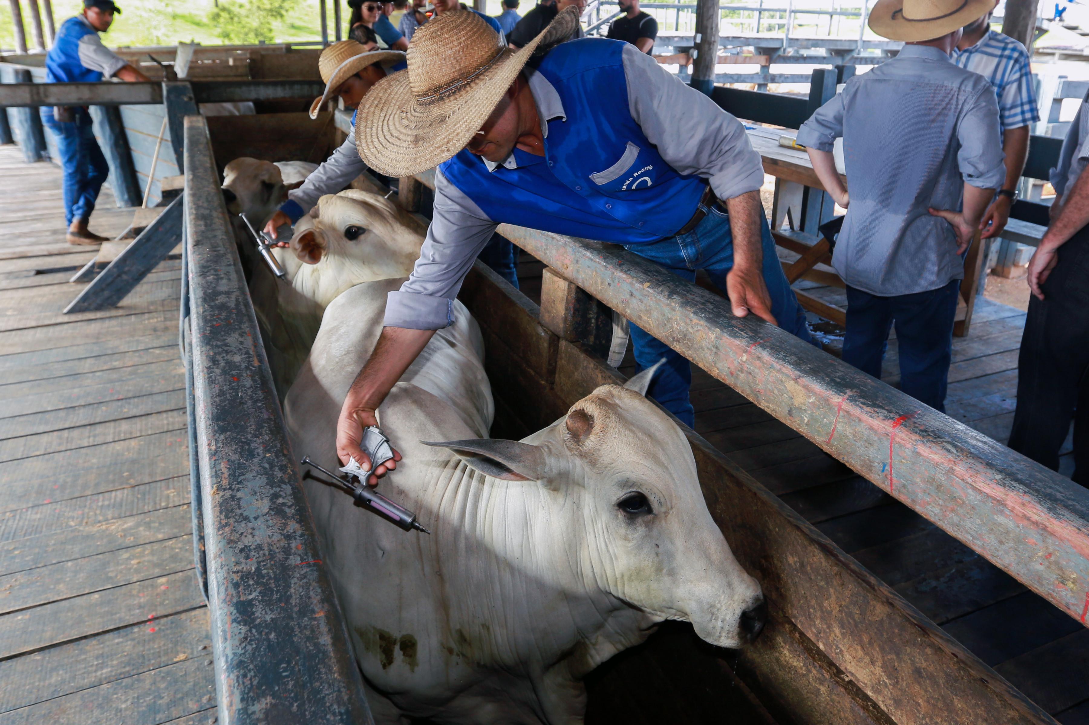 Governo inicia trabalhos da última campanha de vacinação contra febre aftosa no Acre